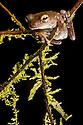 Veragua Cross-banded Treefrog {Smilisca sordida} Osa Peninsula, Costa Rica. May.