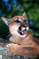 Endangered Florida Panther, Puma concolor coryi