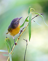 Nashville warbler looking for insects