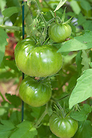 Heirloom tomatoes Black Krim growing, beefsteaks (aka Black Crim, Black Crimson), unripened tomatoes on vine