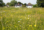 Wildflowers on Mellis Common the largest area of unfenced Medieval common land in England, Mellis, Suffolk, England, UK