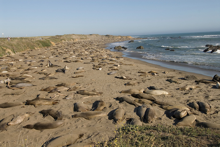 California, San Luis Obispo County:  Elephant Seals gather at Piedras Blancas beach..Photo caluis190-70990.Photo copyright Lee Foster, www.fostertravel.com, 510-549-2202, lee@fostertravel.com