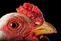 05/05/08 - LAMOTTE BEUVRON - LOIR ET CHER - FRANCE - Elevage avicole de Pascal BOVE. Poule Brahma gris perle maille argente - Photo Jerome CHABANNE
