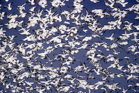 Snow geese (Chen caereulescens) flocking. Winter. Conway, WA