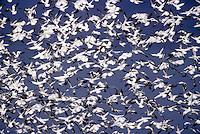 Snow geese (Chen caereulescens) flocking. Winter. Conway, WA