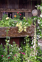 Windowbox flower garden at rustic shed building, flowers, climbing white Roses Rosa, pot herb edible calendula, charming old fashioned feel container garden, rusted, rainbarrel, Digitalis foxglove