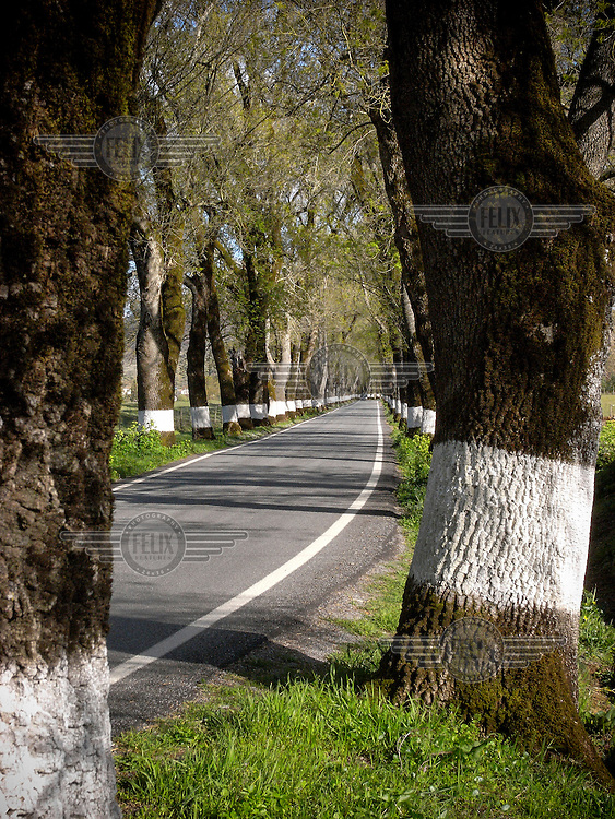 A road lined with Ash trees as they develop their spring foliage.