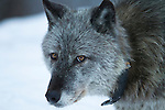 Faith the Mother of the Bow Valley Wolf family is seen here in a close-up view in Banff National Park, Alberta Canada, during the winter of 2012.  Faith wears a radio collar used by park biologists to track her location.  Photo by Gus Curtis.