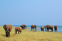 African Elephants (Loxodonta africana) feeding in Lake Kariba, Matusadona National Park, Zimbabwe.