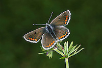 Brown Argus Aricia agestis Wingspan 25mm. A well-marked butterfly of grassy habitats. Adult recalls a female Common Blue but note the smaller size and that orange submarginal spots on brown upperwings are much more striking. Underwings are grey-brown with white-ringed black spots, and orange submarginal spots. Double-brooded: flies May-Aug. Larva is grub-like and feeds on Common Rock-rose and storksbills. A distinctly local species, restricted to southern and central England, and often on chalk downland.