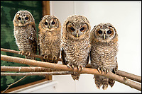 BNPS.co.uk (01202 558833)<br /> Pic: SarahNunn/BNPS<br /> <br /> A wildlife rescue centre is coping with an abundance of owls after the youngsters fell 'f-owl' of bad weather which knocked them out of their nests.<br /> <br /> But their rough start in life does not seem to have deterred the eight tawny owl chicks, who are having a hoot living together at the centre's aviary. <br /> <br /> Six of the fluffy young birds were happy to pose for their picture as they huddled together, but two were a bit more shy.<br /> <br /> The eight chicks were all brought in separately from different locations to Folly Wildlife Rescue in Broadwater Forest near Tunbridge Wells, Kent, and vary in age.