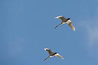 Tundra Swans, Seward Peninsula, western arctic, Alaska.