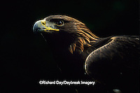 00788-00116 Golden eagle (Aquila chrysaetos) (captive animal)   OR