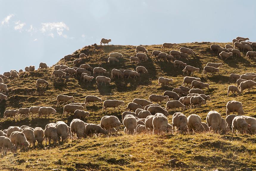 Sheep grazing in alpine pasture near the Col du Bonhomme, Mont Blanc, September 2007.