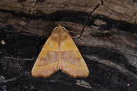 Ockergelbe Escheneule, Atethmia centrago, Atethmia rufa, Centre-barred Sallow, Eulenfalter, Noctuidae, noctuid moths, noctuid moth