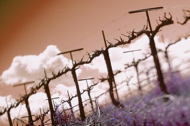 Winter in Sonoma vineyard