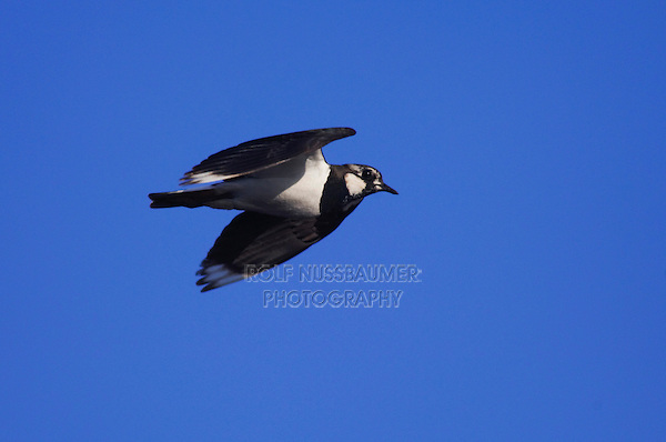 Northern Lapwing, Vanellus vanellus, adult in flight, National Park Lake Neusiedl, Burgenland, Austria, April 2007