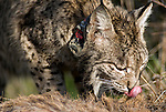Wild Iberian Lynx,wearing radio tracking collar, feeding on carcass of red deer.