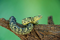 489550015 a captive usambara mountains eyelash bush viper atheris ceratophora sits coiled on a tree stump species is newly recorded and native to the usambara mountains of tanzania