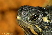 1R13-077a  Painted Turtle - newly hatched young showing egg tooth - Chrysemys picta