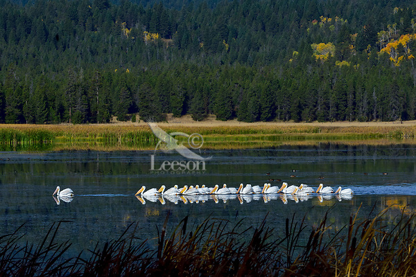 American White Pelicans (Pelecanus erythrorhynchos) on Silver Lake, Harriman State Park, Idaho.  Fall.
