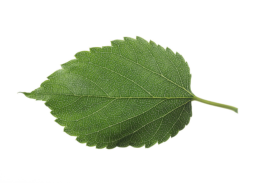 Schwarzer Maulbeerbaum, Schwarze Maulbeere, Maulbeeren, Morus nigra, Black Mulberry, Common Mulberry, blackberry, Le mûrier noir, Maulbeergewächse, Moraceae. Blatt, Blätter, leaf, leaves, Blattunterseite