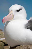 Black-browed Albatross - Thalassarche melanophris - sat on nest, Saunders Island, Falkland Islands
