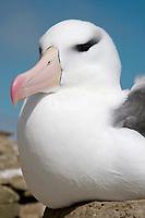 Black-browed Albatross - Thalassarche melanophris - sat on nest, Saunders Island, Falkland Islands
