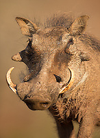 Warthogs... ugly, but fascinating.