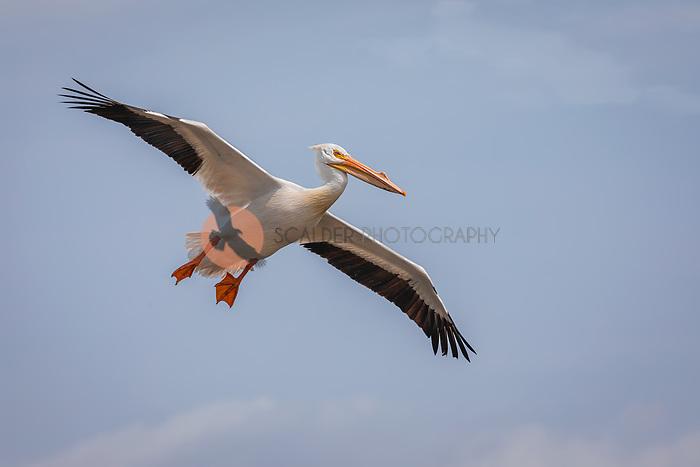 American White Pelican in breeding colors, gliding in flight