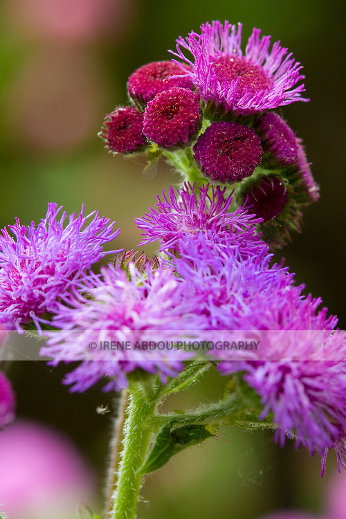 "A large variety of flowers, like this ageratum houstonianum (""Red Sea"" ageratum) dot the 50-acre expanse of Brookside Gardens in Silver Spring, Maryland."
