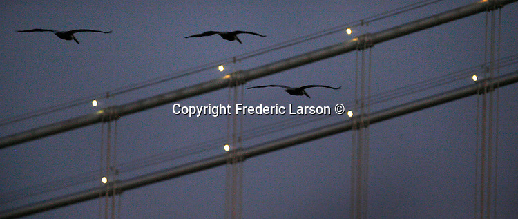 Three pelicans fly by the  Bay Bridge during twilight as seen from the Embarcadero of San Francisco, California.
