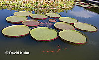 0904-0803  Giant Water Lily, Victoria amazonica © David Kuhn/Dwight Kuhn Photography.