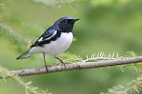 Black-throated Blue Warbler - Setophaga caerulescens - Adult male