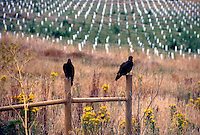 BIRDS<br /> Turkey Vulture<br /> Cathartes aura, Northern California