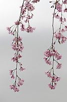 The blossom of a weeping cherry (Prunus pendula 'Pendula')