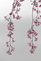 The blossom of a weeping cherry (Prunus pendula 'Pendula')