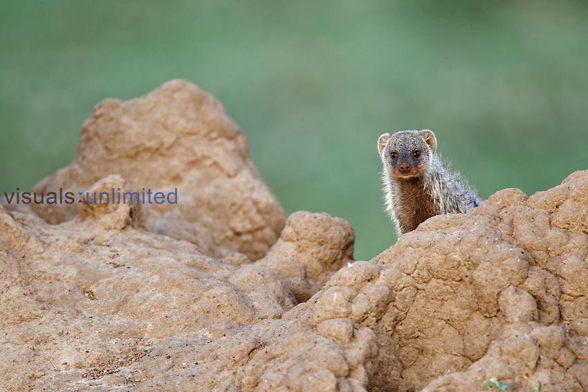 Banded Mongoose on termite mound, Masai Mara, Kenya