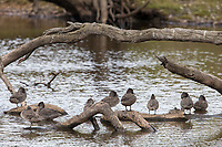 Freckled Duck (Stictonetta naevosa), flock resting on logs in Duck Lagoon, Kangaroo Island, South Australia, Australia.
