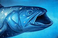 West Indian Ocean coelacanth, Latimeria chalumnae, painting by unknown artist, Grande Comore, Comoros, Comoro Islands, Indian Ocean