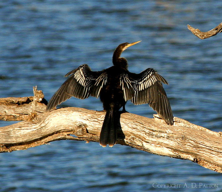 Adult male anhinga in non-breeding plumage sunning on fallen tree in lake