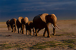 A family of elephants travel many miles to a water hole in Amboseli National Park, Kenya.