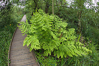 Royal Fern - Osmunda regalis