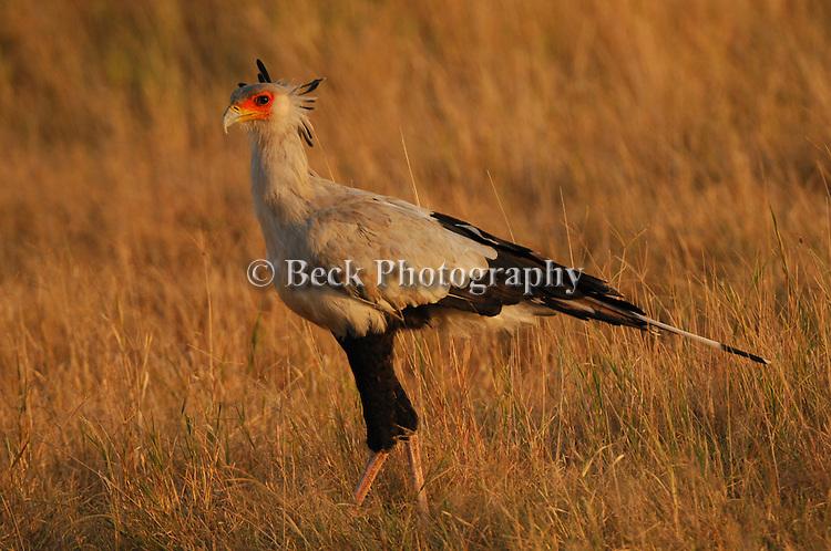 Secretary Bird in Africa