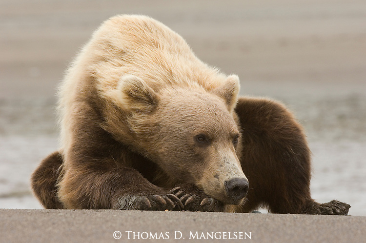 Brown bear laying on the beach at the mouth of Silver Salmon Creek on the shore of Cook Inlet in Lake Clark National Park, Alaska.