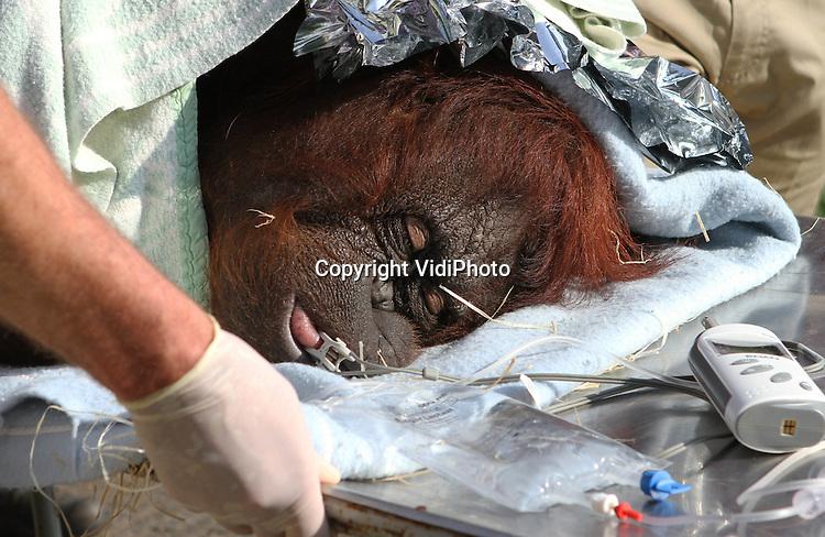 Foto: VidiPhoto..RHENEN - De 'mislukte' moeder orang oetan Anak van Ouwehands Dierenpark in Rhenen is vrijdag gesteriliseerd. De dierenart van de dierentuin had een team van veterinair specialisten en een gynaecoloog samengesteld om deze voor Nederland unieke sterilisatie bij een orang oetan uit te voeren. Atan is zelf met de fles grootgebracht en weigerde dan ook haar baby's te verzorgen, met als gevolg dat de jongen steeds dood gingen. Om dit soort drama's in de toekomst te voorkomen zijn vrijdag via een kijkoperatie de eileiders van het dier dichtgeschroeid, waardoor ze geen kinderen meer kan krijgen.