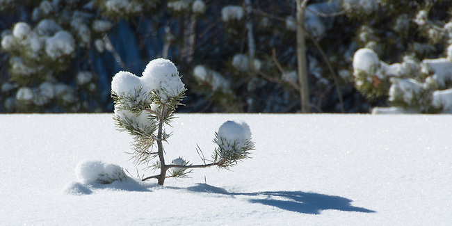 Winter scene of lone, pine tree sticking up through snow, morning, Rocky Mountain National Park, Colorado, USA