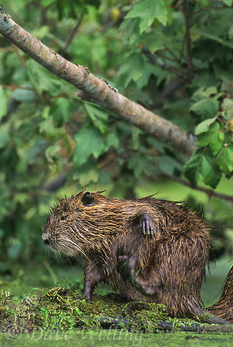 665955049 a wild nutria myocastor coypus an introduced species sits in a duckweed filled pond scratching its side on a nature conservancy property in southern louisiana