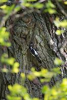 Buntspecht, Weibchen am Eingang zur Bruthöhle füttert Küken, Höhle in einer alten Eiche, Bunt-Specht, Specht, Spechthöhle, Dendrocopos major, Picoides major, Great spotted woodpecker
