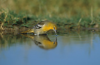 Bullock's Oriole, Icterus bullockii,female drinking, Starr County, Rio Grande Valley, Texas, USA, May 2002